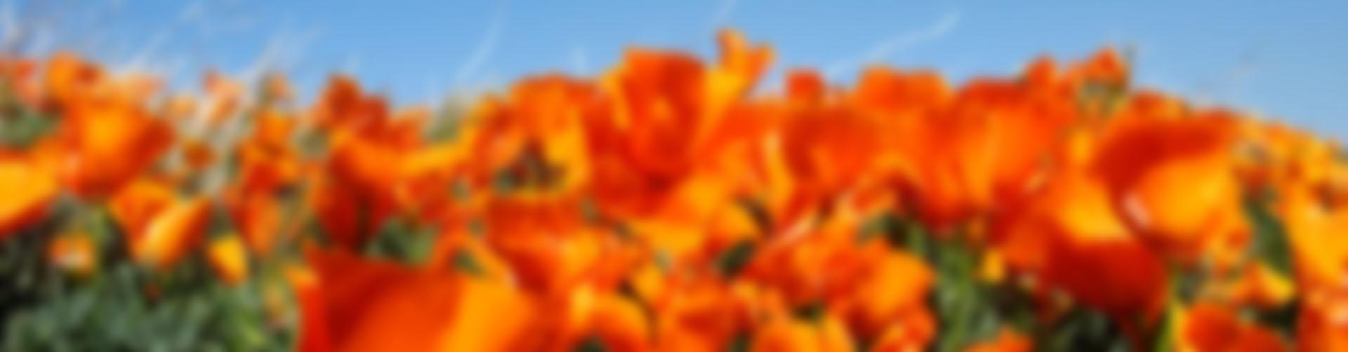 poppyfield-blur